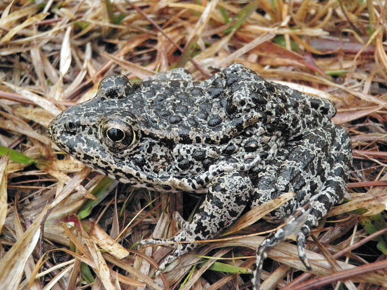 Dusky Gopher Frog a